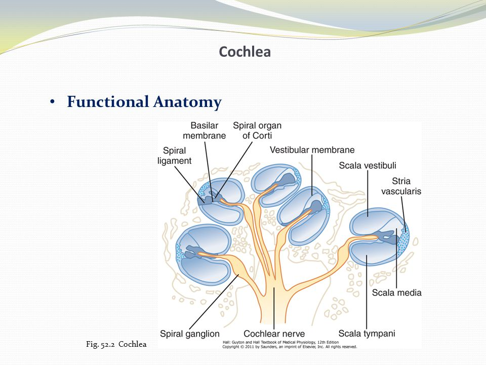 Cochlea Functional Anatomy Fig. 52.3 Section through one of the turns of the cochlea