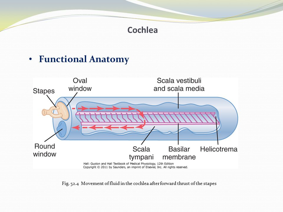 Cochlea Basilar Membrane and Resonance- high frequency and low frequency resonance Transmission of Sound Waves in the Cochlea— Traveling Wave Pattern of Vibration of the Basilar Membrane for Different Sound Frequencies