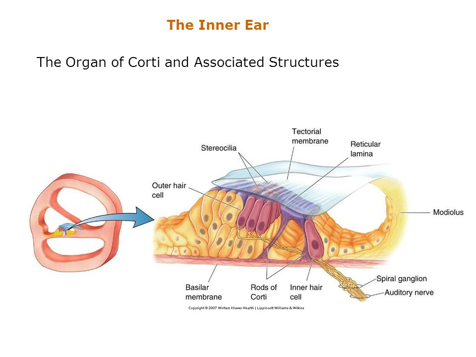 The Organ of Corti and Associated Structures The Inner Ear