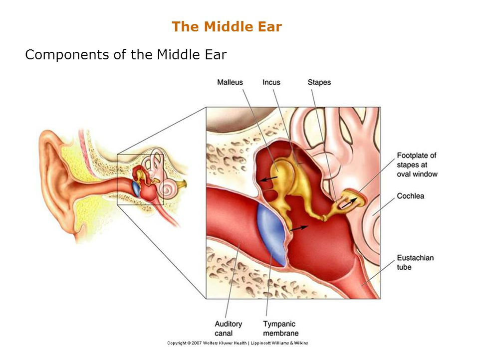 Components of the Middle Ear The Middle Ear