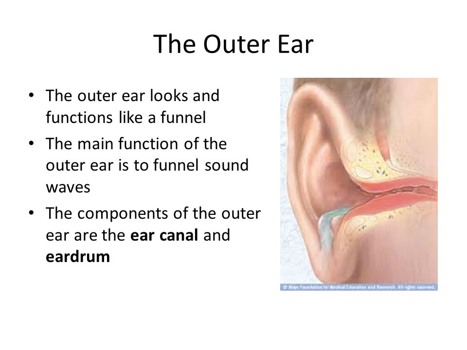 The Outer Ear The outer ear looks and functions like a funnel The main function of the outer ear is to funnel sound waves The components of the outer