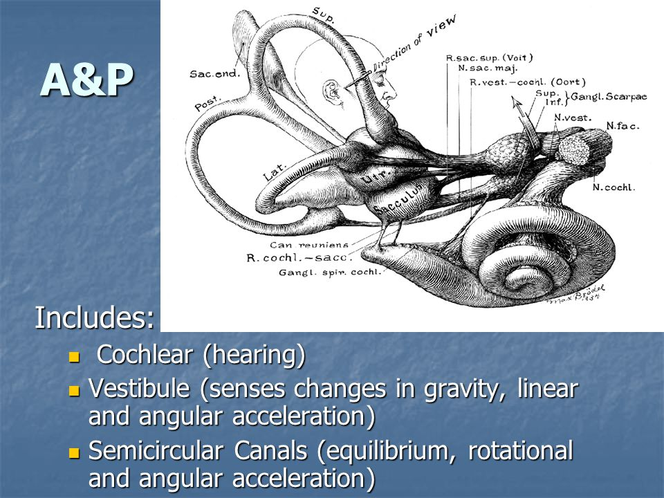 A&P Includes: Cochlear (hearing) Cochlear (hearing) Vestibule (senses changes in gravity, linear and angular acceleration) Vestibule (senses changes in gravity, linear and angular acceleration) Semicircular Canals (equilibrium, rotational and angular acceleration) Semicircular Canals (equilibrium, rotational and angular acceleration)