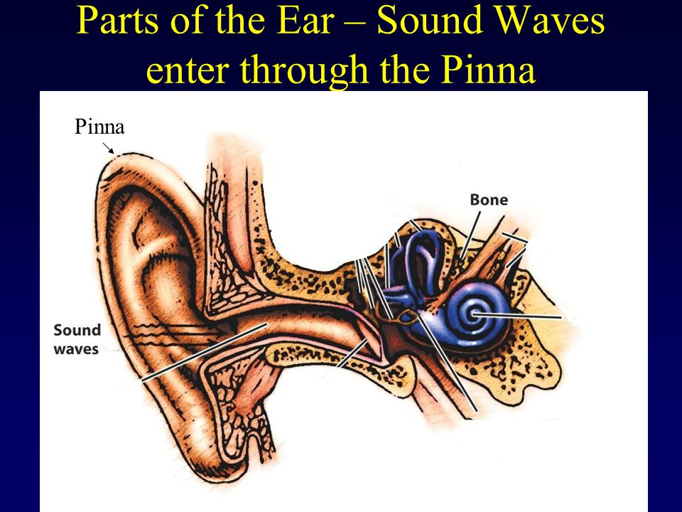 Parts of the Ear – Sound Waves enter through the Pinna Pinna