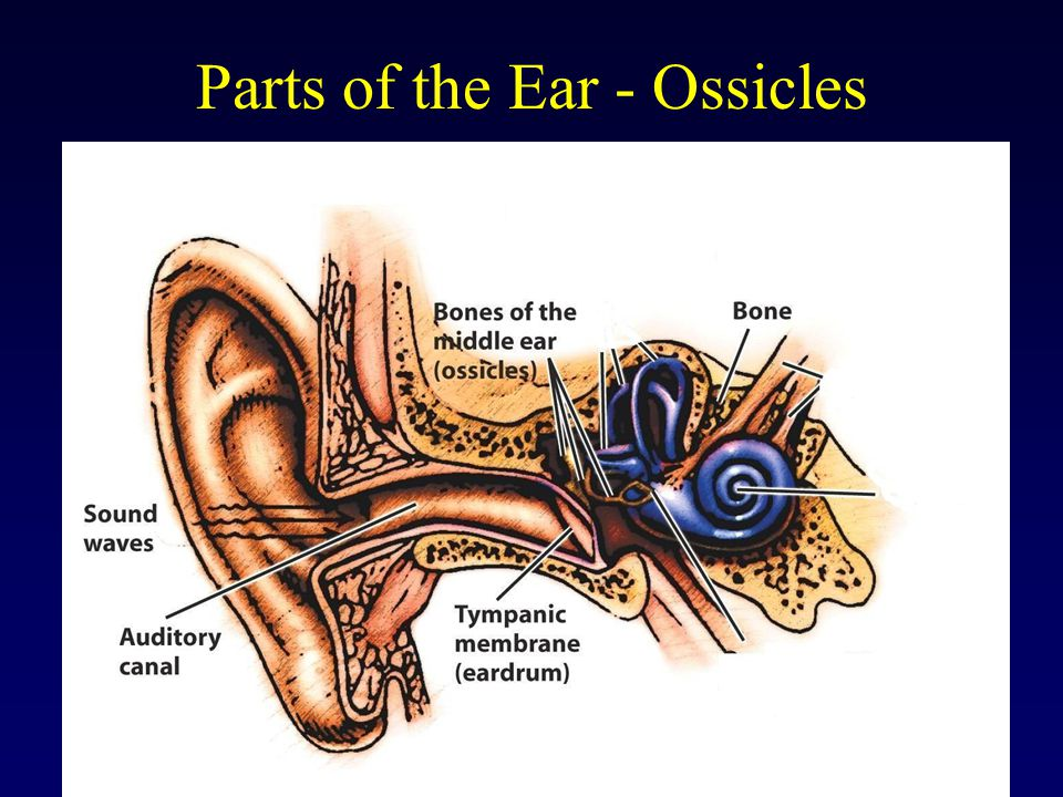 Parts of the Ear - Ossicles