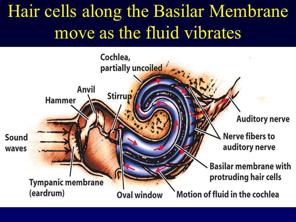 Hair cells along the Basilar Membrane move as the fluid vibrates