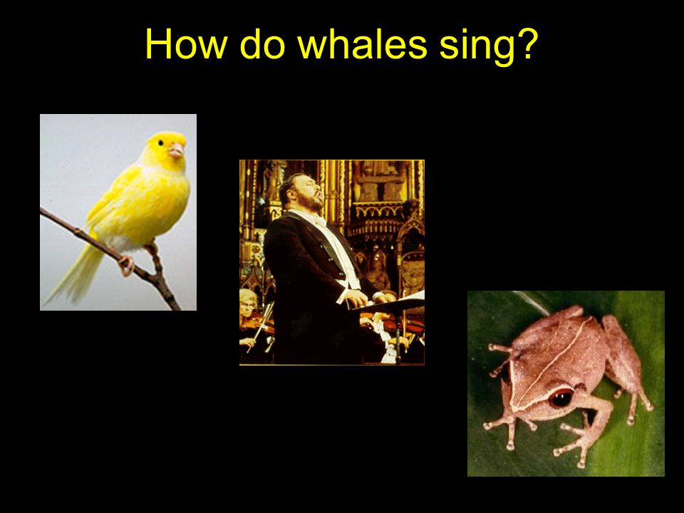How do whales sing