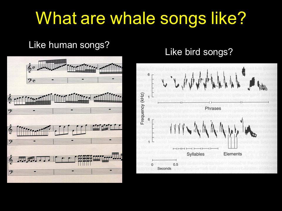 What are whale songs like Like human songs Like bird songs