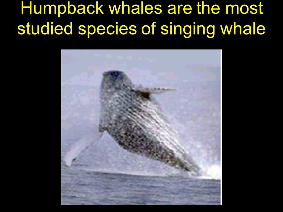 Why do whales sing.