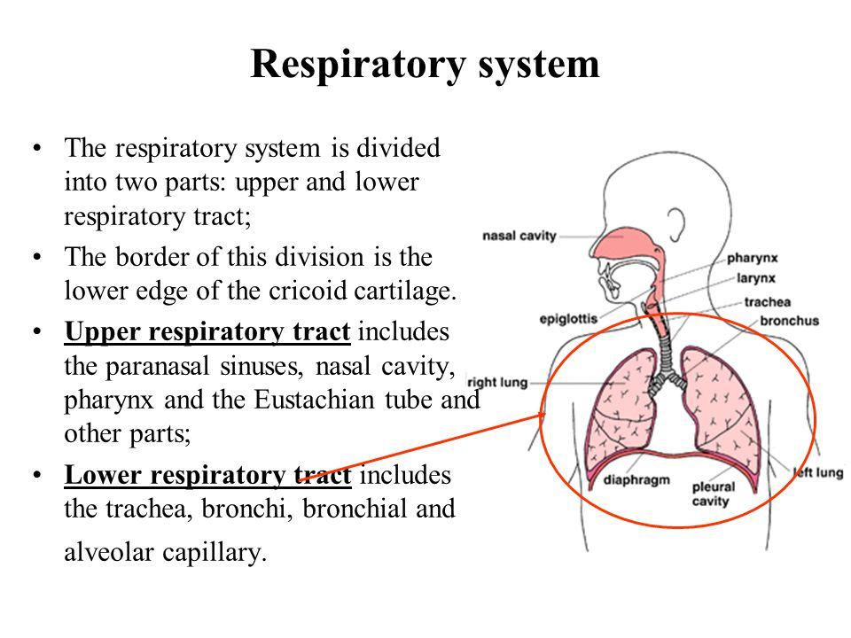 Beautiful Upper Respiratory System Anatomy Embellishment - Human ...
