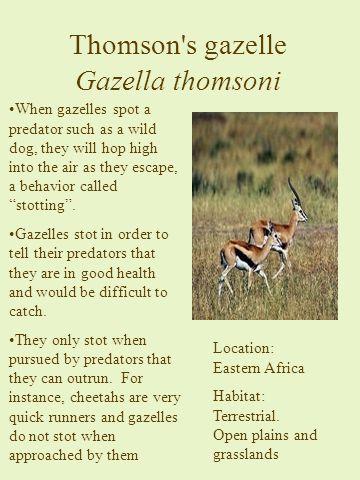 Thomson s gazelle Gazella thomsoni Location: Eastern Africa Habitat: Terrestrial.
