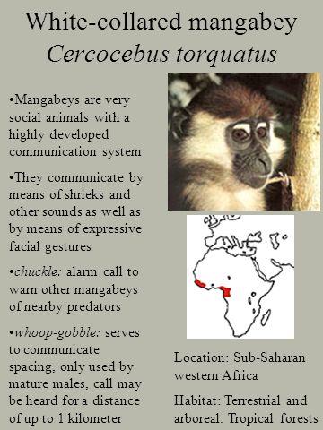 White-collared mangabey Cercocebus torquatus Location: Sub-Saharan western Africa Habitat: Terrestrial and arboreal.