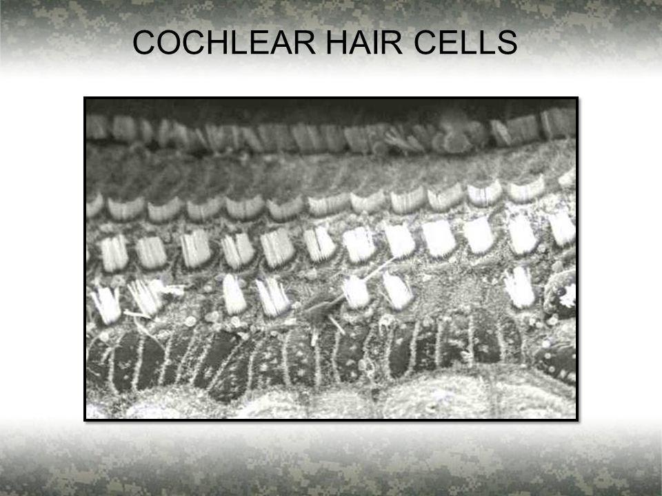 7 COCHLEAR HAIR CELLS