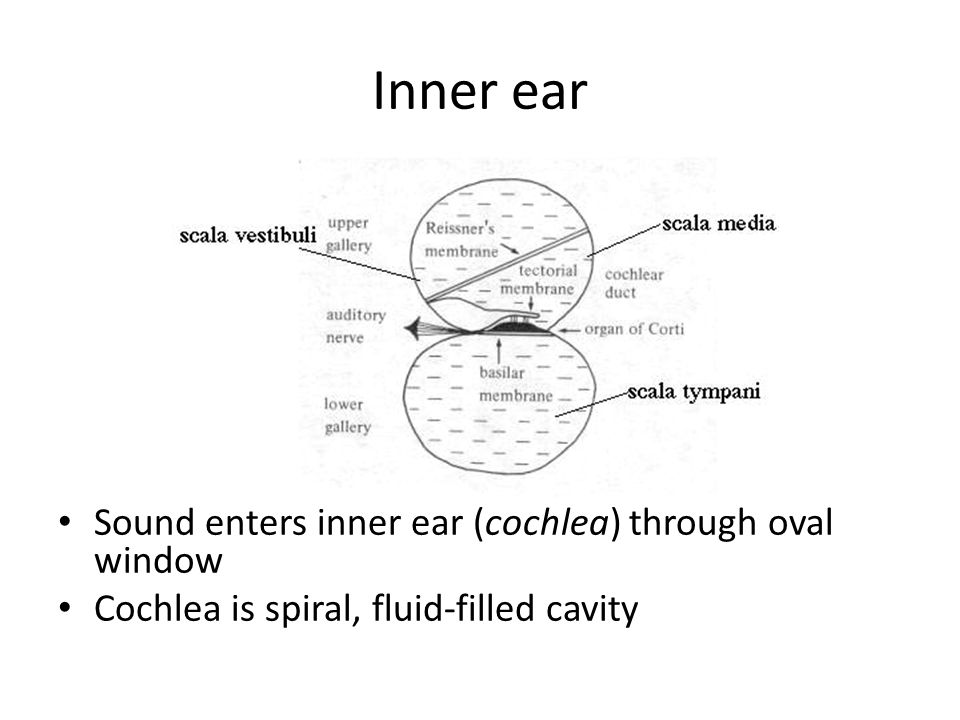 Inner ear Sound enters inner ear (cochlea) through oval window Cochlea is spiral, fluid-filled cavity