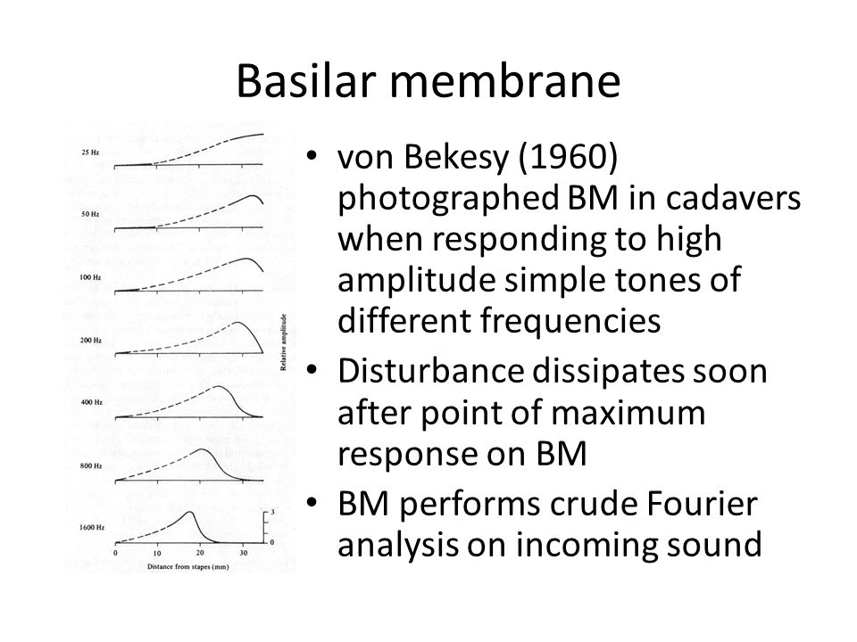 Basilar membrane von Bekesy (1960) photographed BM in cadavers when responding to high amplitude simple tones of different frequencies Disturbance dissipates soon after point of maximum response on BM BM performs crude Fourier analysis on incoming sound