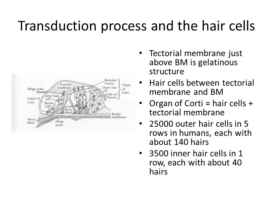 Transduction process and the hair cells Tectorial membrane just above BM is gelatinous structure Hair cells between tectorial membrane and BM Organ of Corti = hair cells + tectorial membrane 25000 outer hair cells in 5 rows in humans, each with about 140 hairs 3500 inner hair cells in 1 row, each with about 40 hairs