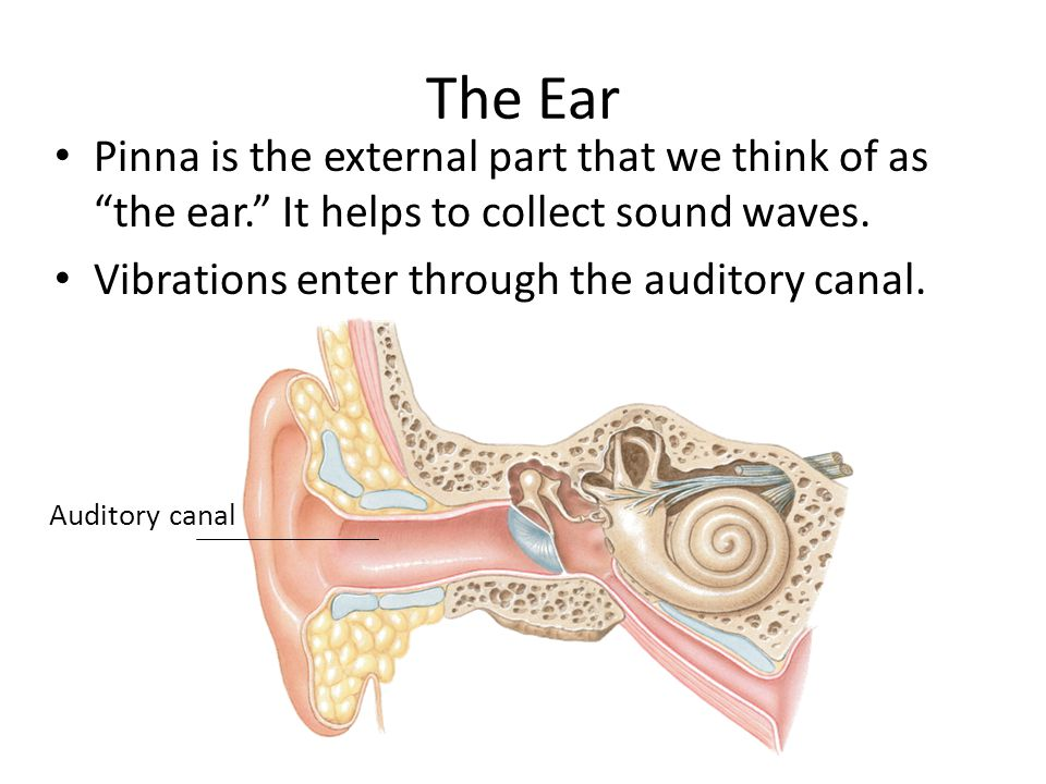 The Ear Pinna is the external part that we think of as the ear. It helps to collect sound waves.