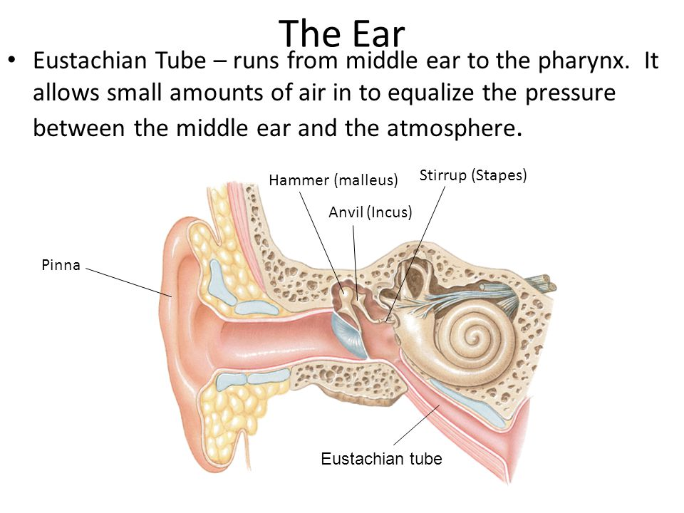 The Ear Eustachian Tube – runs from middle ear to the pharynx.