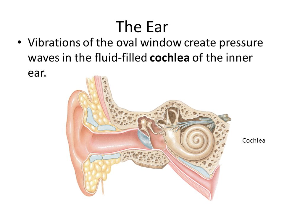 The Ear Vibrations of the oval window create pressure waves in the fluid-filled cochlea of the inner ear.