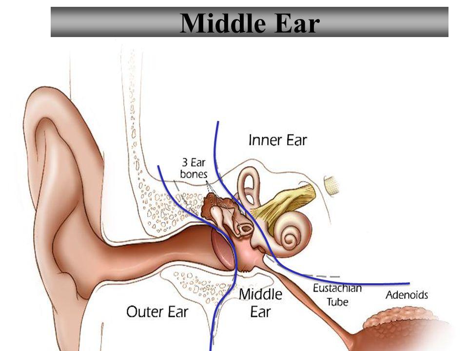 3 Middle Ear