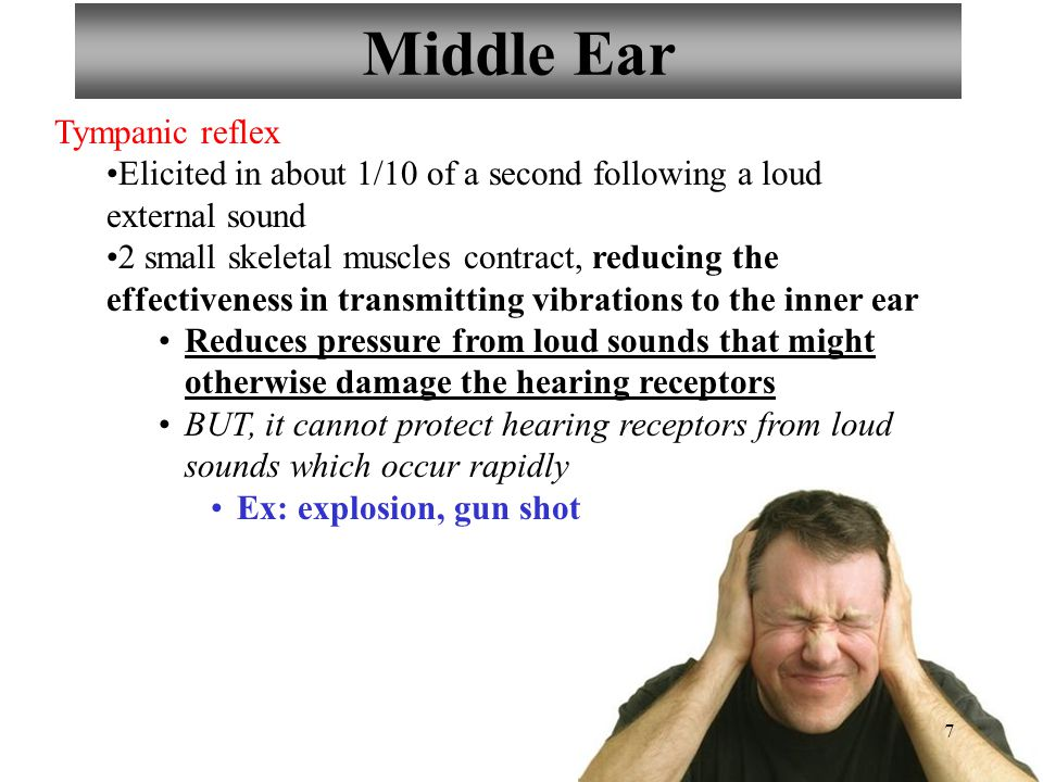 7 Middle Ear Tympanic reflex Elicited in about 1/10 of a second following a loud external sound 2 small skeletal muscles contract, reducing the effect