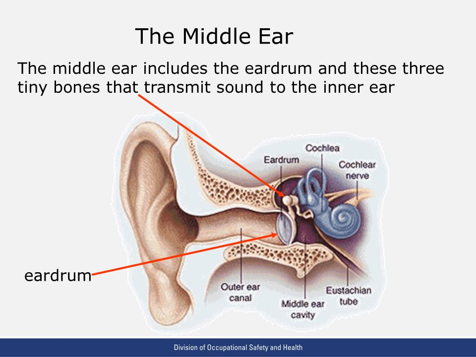 VPP: The Standard of Excellence in Workplace Safety and Health The Middle Ear The middle ear includes the eardrum and these three tiny bones that transmit sound to the inner ear eardrum
