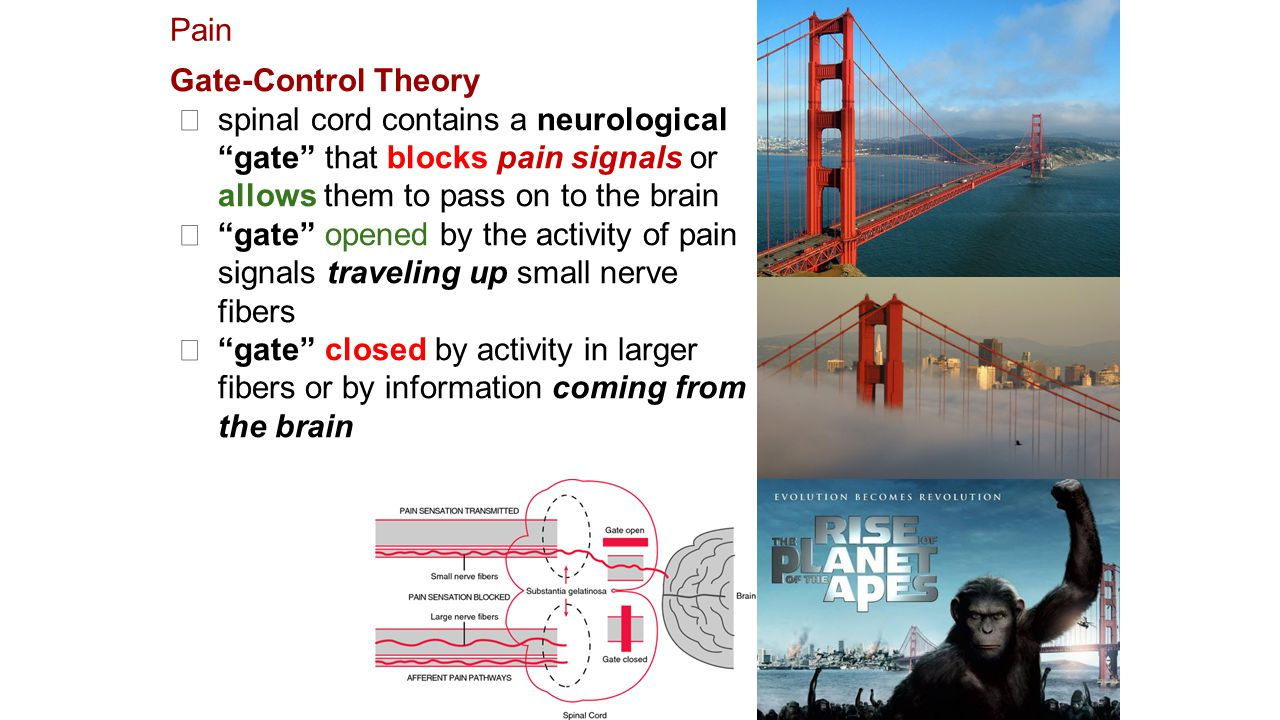 Pain Gate-Control Theory ★ spinal cord contains a neurological gate that blocks pain signals or allows them to pass on to the brain ★ gate opened by the activity of pain signals traveling up small nerve fibers ★ gate closed by activity in larger fibers or by information coming from the brain