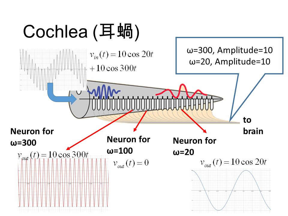 Cochlea ( 耳蝸 ) to brain Each neuron only passes a specific frequency. Pass high frequency Pass low frequency Pass 20kHz Pass 20Hz