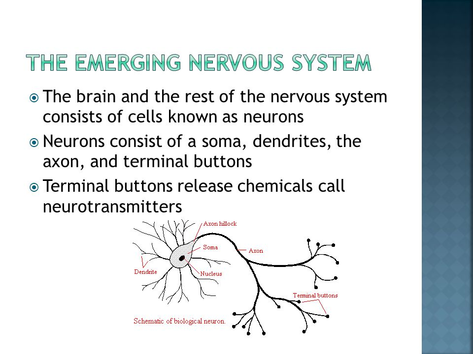  The brain and the rest of the nervous system consists of cells known as neurons  Neurons consist of a soma, dendrites, the axon, and terminal butto