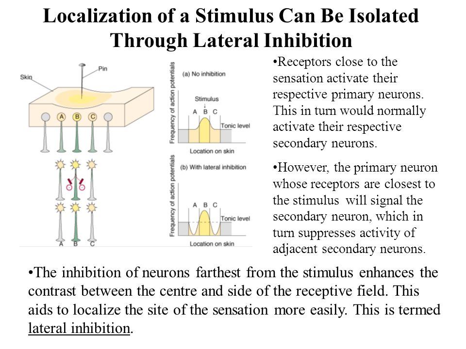 Localization of a Stimulus Can Be Isolated Through Lateral Inhibition Receptors close to the sensation activate their respective primary neurons.