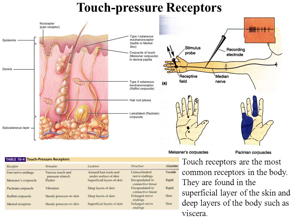 Touch-pressure Receptors Touch receptors are the most common receptors in the body.