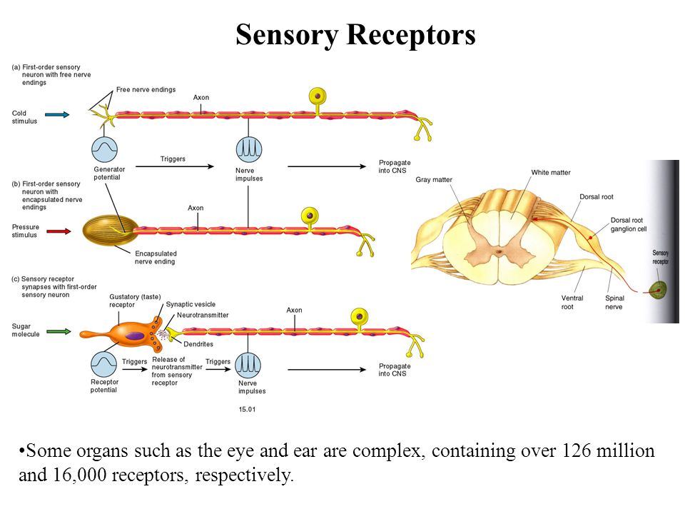 Sensory Receptors Some organs such as the eye and ear are complex, containing over 126 million and 16,000 receptors, respectively.