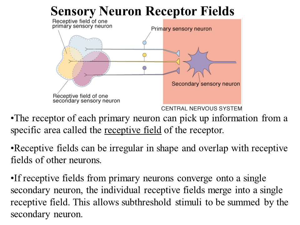 Sensory Neuron Receptor Fields The receptor of each primary neuron can pick up information from a specific area called the receptive field of the receptor.