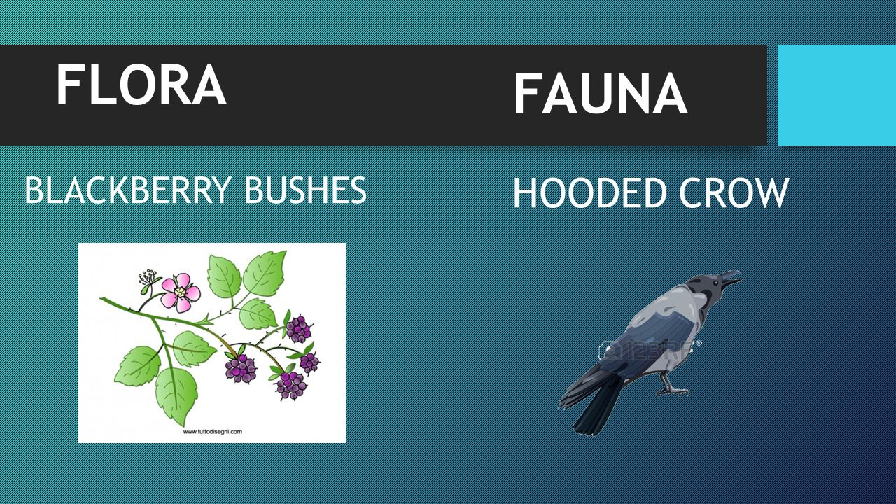 FLORA FAUNA BLACKBERRY BUSHES HOODED CROW