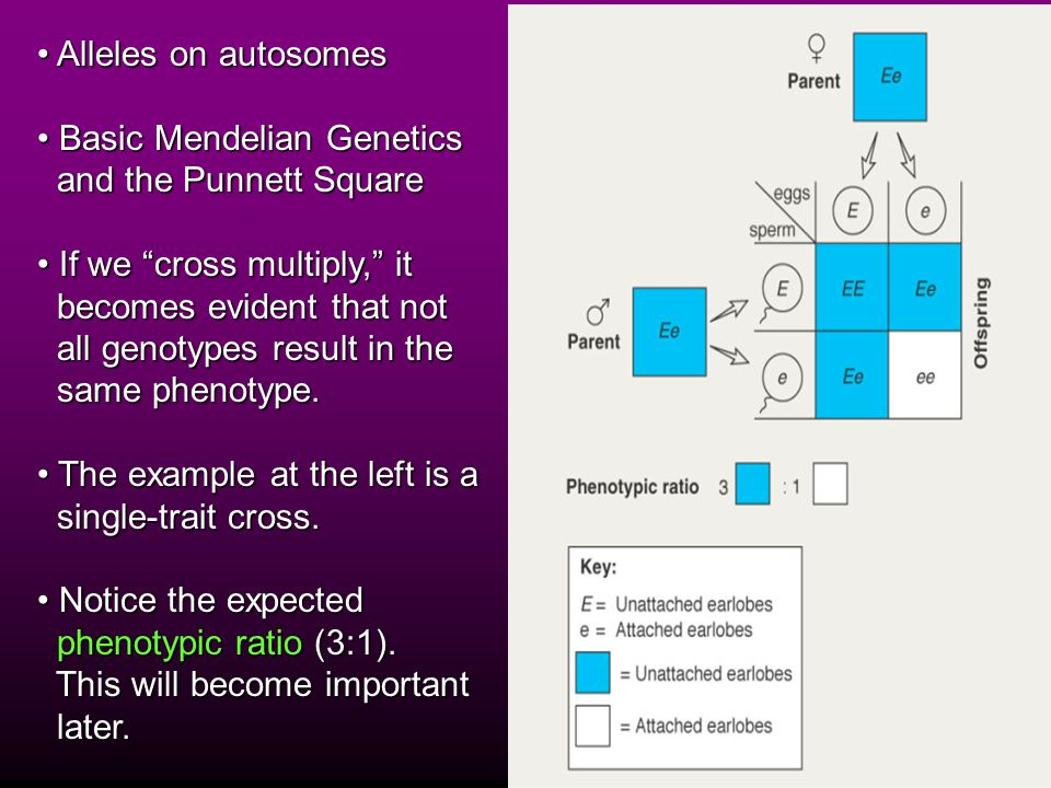 Alleles on autosomes Alleles on autosomes Basic Mendelian Genetics Basic Mendelian Genetics and the Punnett Square and the Punnett Square If we cross multiply, it If we cross multiply, it becomes evident that not becomes evident that not all genotypes result in the all genotypes result in the same phenotype.