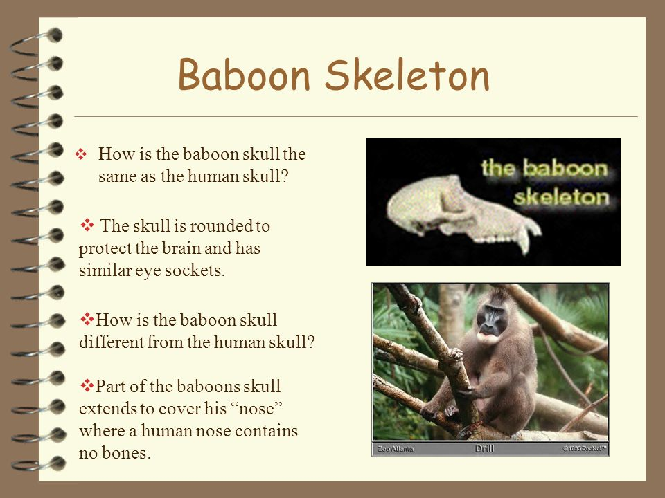 Baboon Skeleton  How is the baboon skull the same as the human skull.