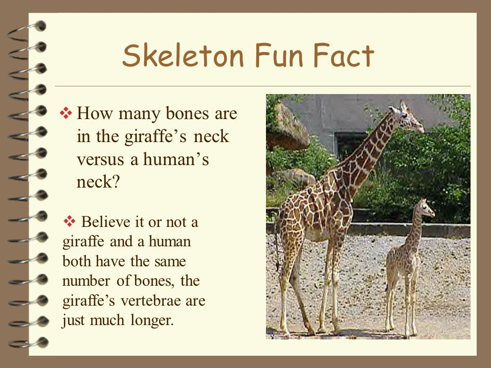 Skeleton Fun Fact  How many bones are in the giraffe's neck versus a human's neck.