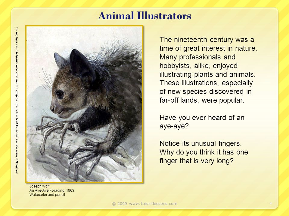 Animal Illustrators © 2009 www.funartlessons.com4 Joseph Wolf An Aye-Aye Foraging, 1863 Watercolor and pencil The nineteenth century was a time of great interest in nature.