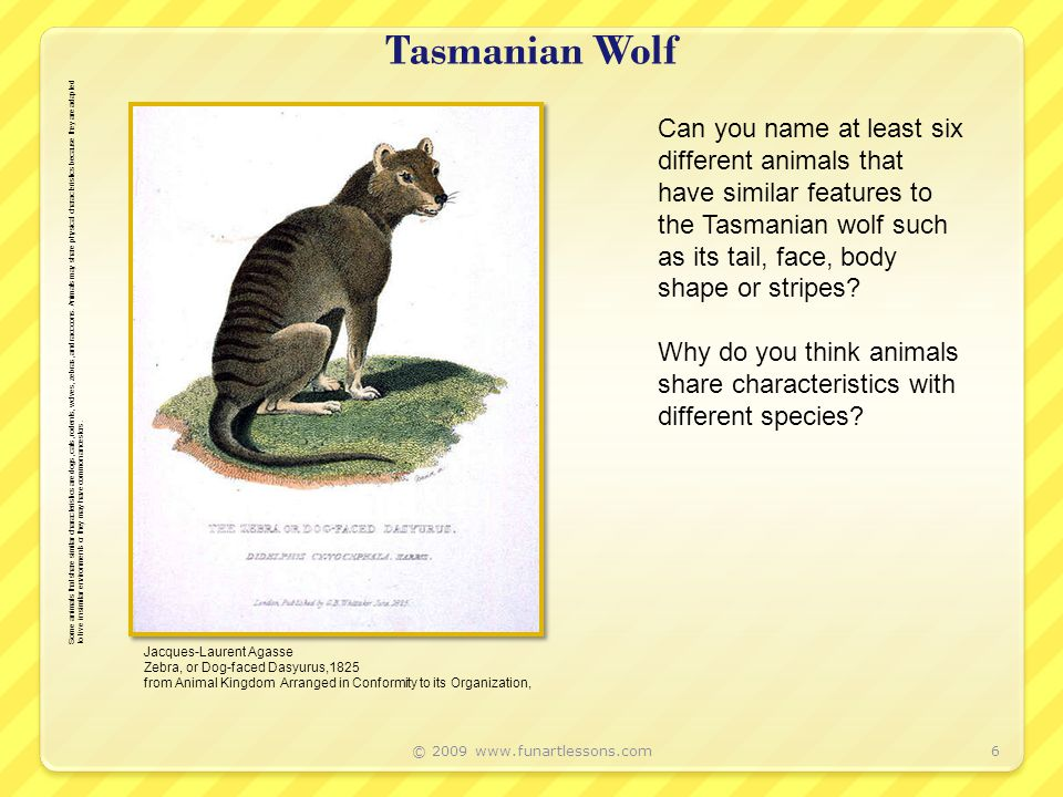 Tasmanian Wolf © 2009 www.funartlessons.com6 Jacques-Laurent Agasse Zebra, or Dog-faced Dasyurus,1825 from Animal Kingdom Arranged in Conformity to its Organization, Can you name at least six different animals that have similar features to the Tasmanian wolf such as its tail, face, body shape or stripes.
