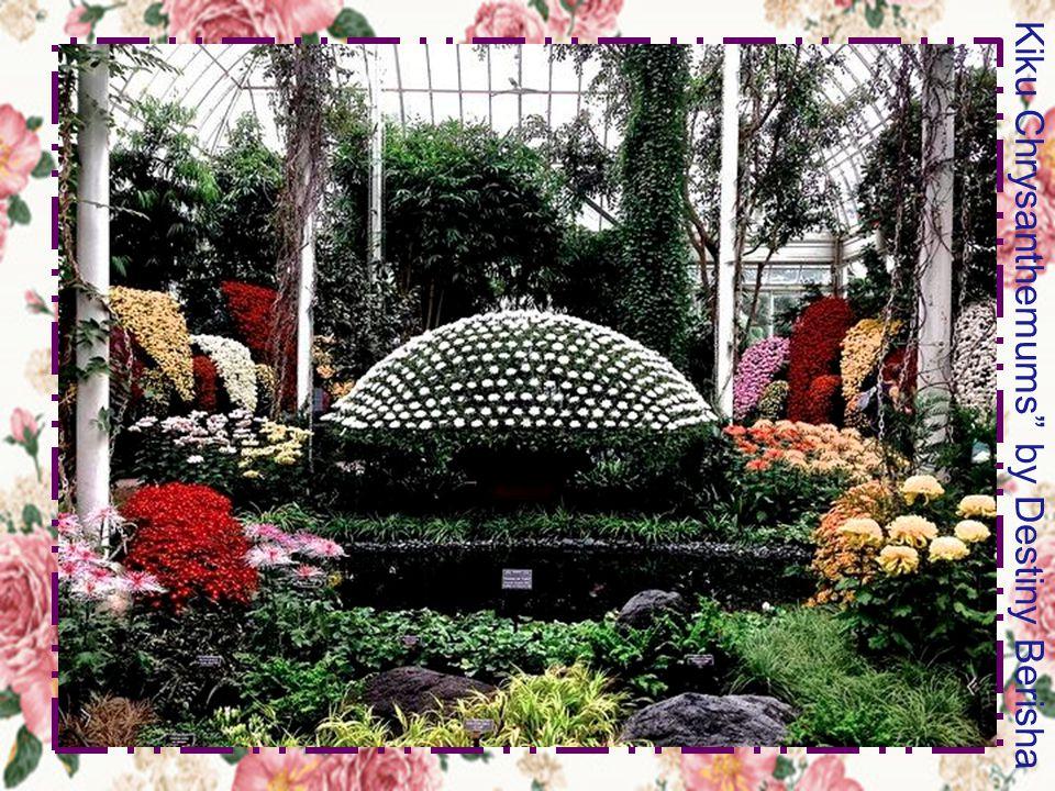 Kiku Chrysanthemums by Destiny Berisha