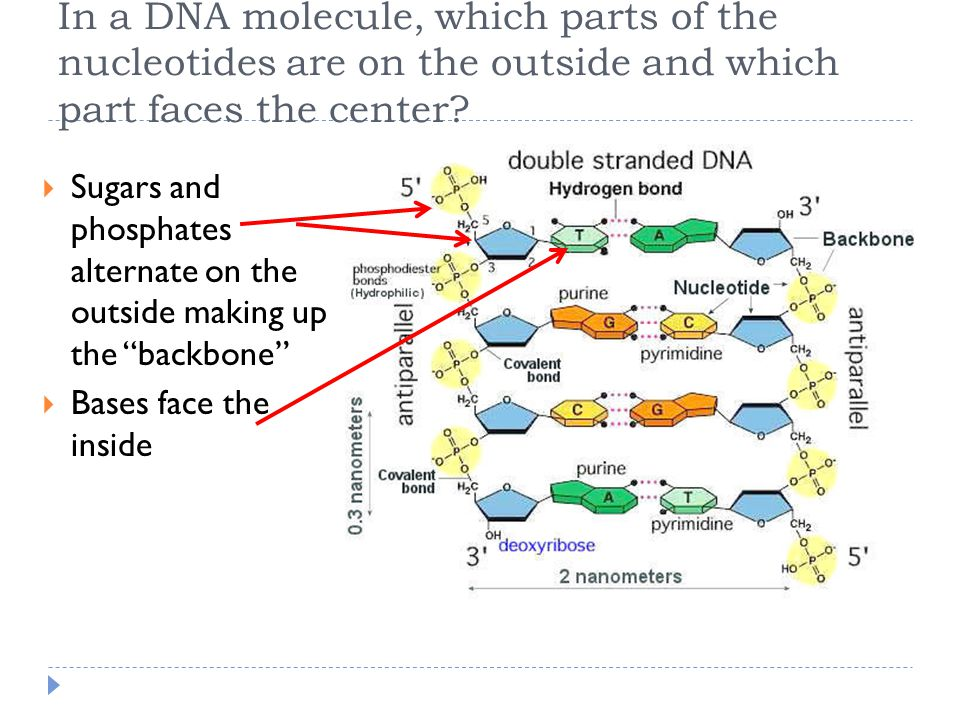 In a DNA molecule, which parts of the nucleotides are on the outside and which part faces the center.