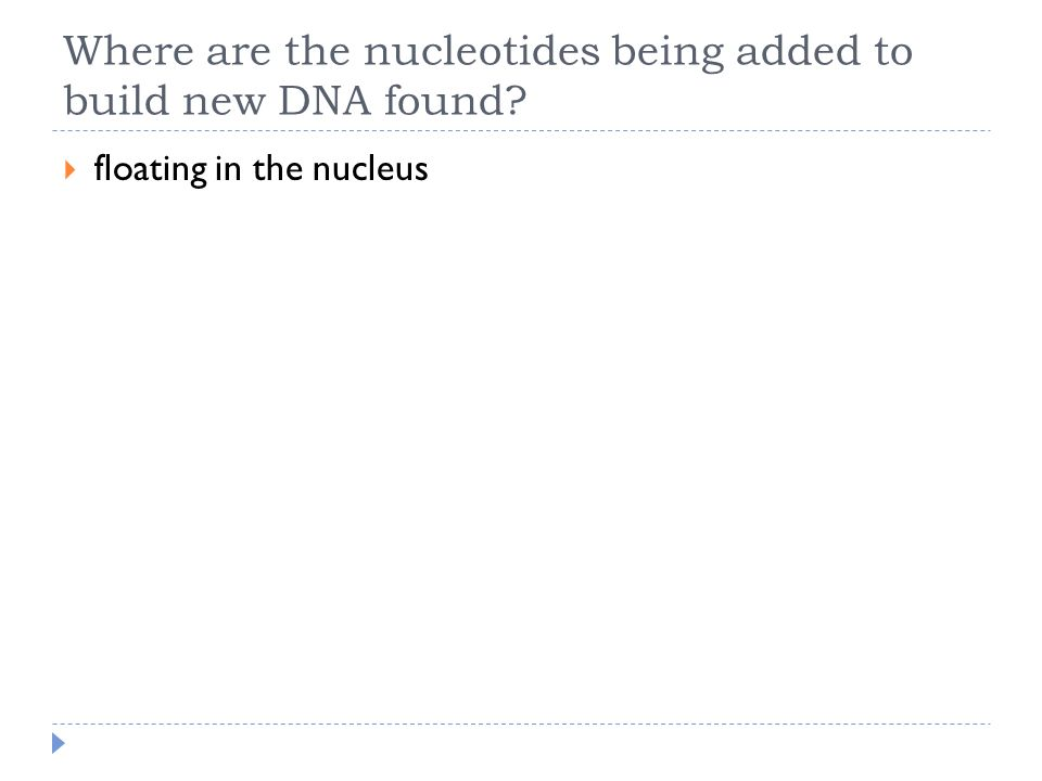 Where are the nucleotides being added to build new DNA found?  floating in the nucleus
