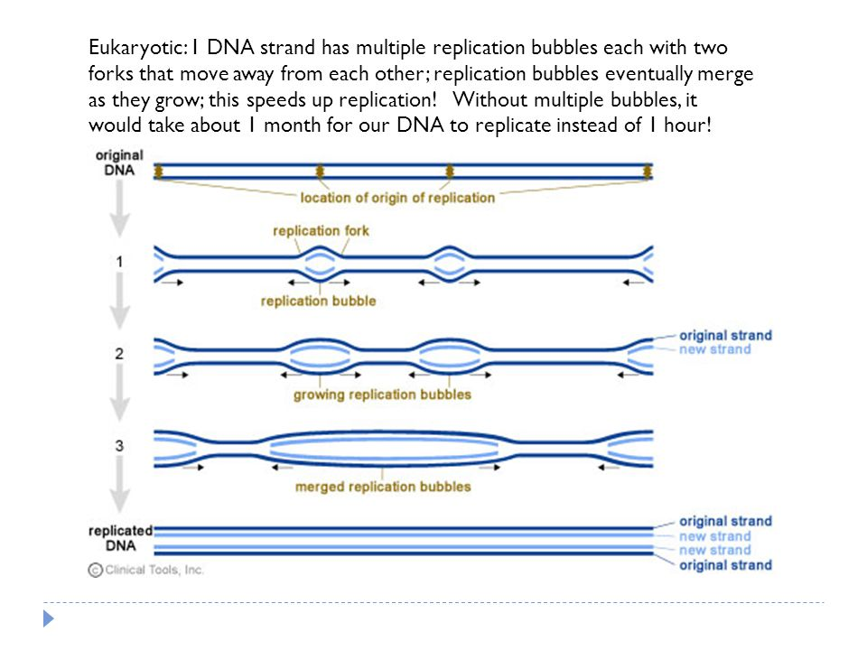 Eukaryotic: 1 DNA strand has multiple replication bubbles each with two forks that move away from each other; replication bubbles eventually merge as they grow; this speeds up replication.