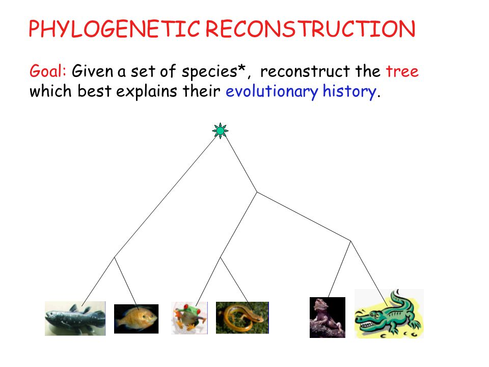 PHYLOGENETIC RECONSTRUCTION Goal: Given a set of species*, reconstruct the tree which best explains their evolutionary history.