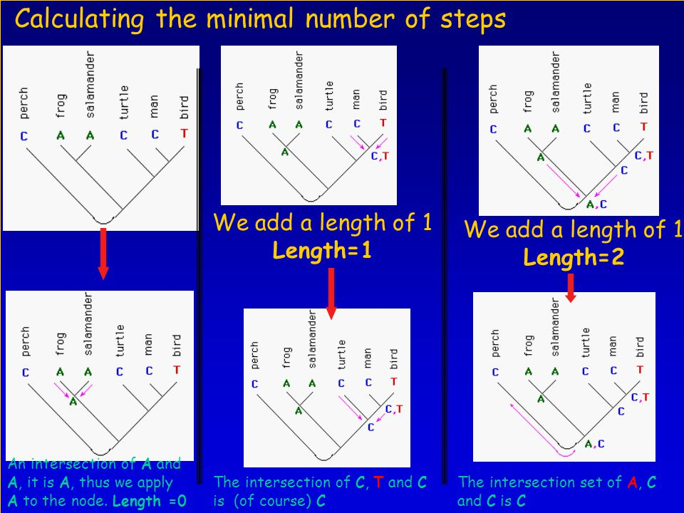 Calculating the minimal number of steps The intersection of C, T and C is (of course) C The intersection set of A, C and C is C We add a length of 1 Length=2 An intersection of A and A, it is A, thus we apply A to the node.