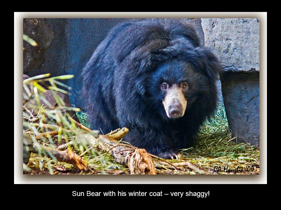 Sun Bear with his winter coat – very shaggy!