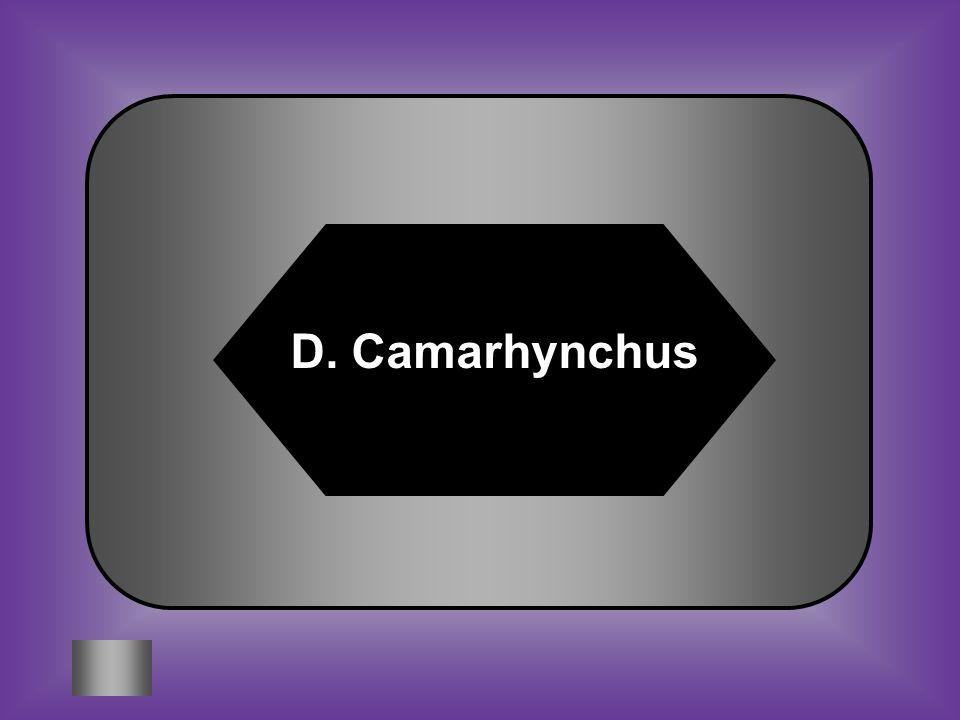 A: B: Certhidea Platyspiza C:D: Geospiza Camarhynchus Using the dichotomous key, identify the name of Bird Z #4