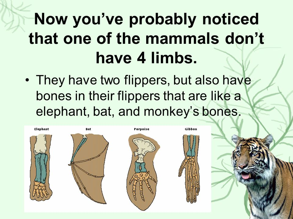 Now you've probably noticed that one of the mammals don't have 4 limbs. They have two flippers, but also have bones in their flippers that are like a