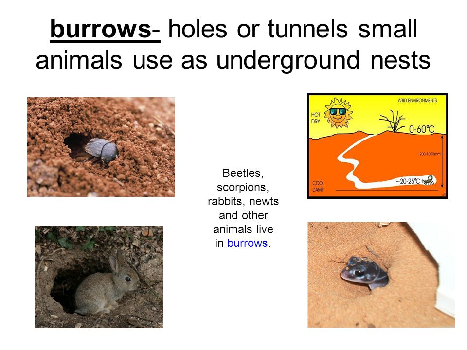 burrows- holes or tunnels small animals use as underground nests Beetles, scorpions, rabbits, newts and other animals live in burrows.