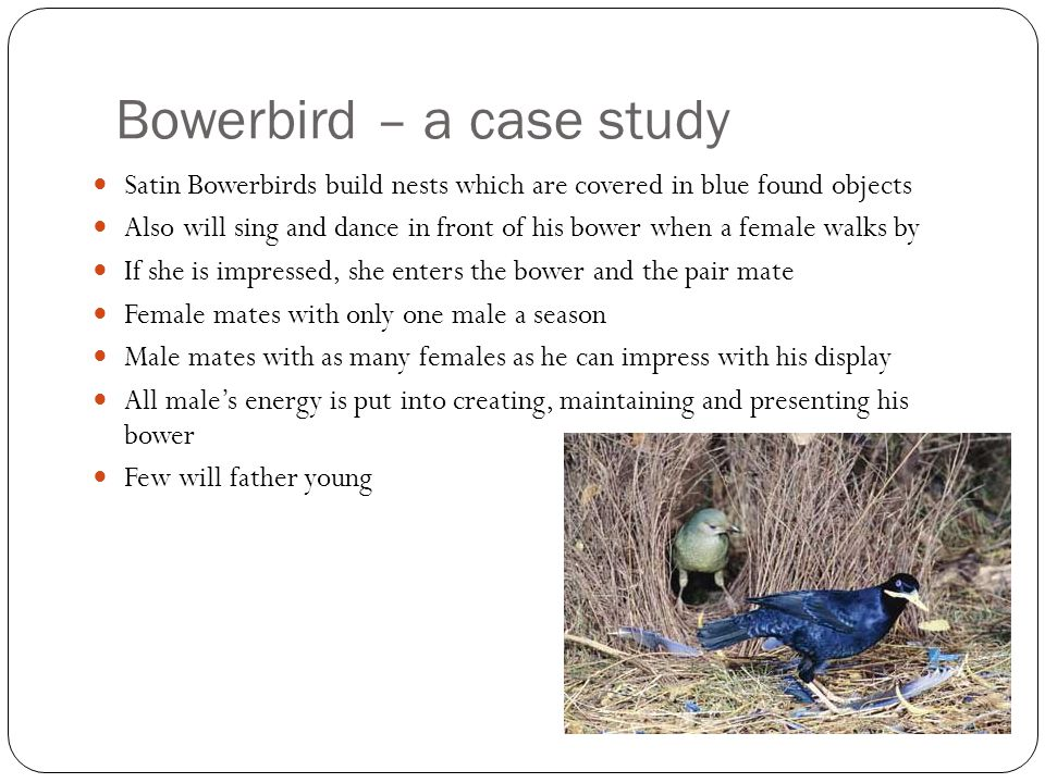 Bowerbird – a case study Satin Bowerbirds build nests which are covered in blue found objects Also will sing and dance in front of his bower when a fe