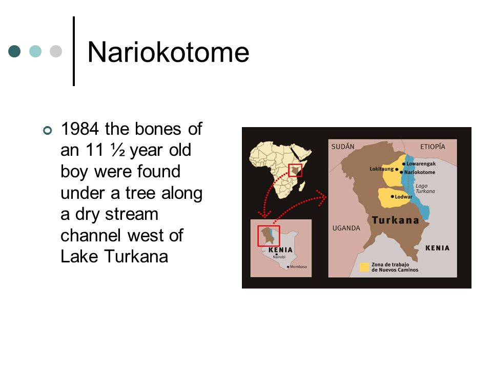 Nariokotome 1984 the bones of an 11 ½ year old boy were found under a tree along a dry stream channel west of Lake Turkana
